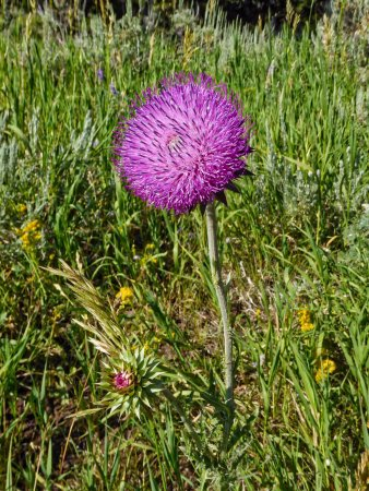 Kelly, WY: Thistles brighten the trail ride