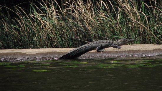 Georgetown, SC: Pee Dee River Aligator