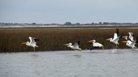 Georgetown, SC: White pelicans over North Inlet