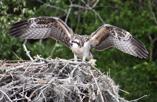 Georgetown, SC: Young osprey on Big Bull Creek