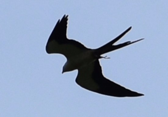 Georgetown, SC: Swallow tailed kite over Pee Dee River