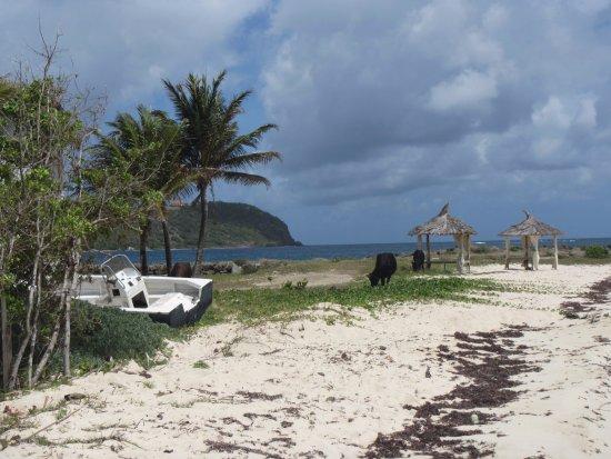 Clifton, Union Island: beach with cows