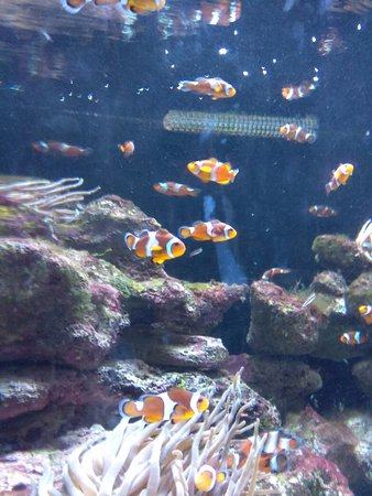Marine Habitat at Atlantis: Clownfish