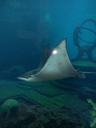 Marine Habitat at Atlantis : Manta Ray