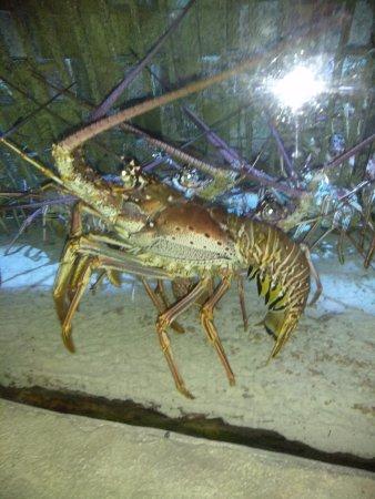 Marine Habitat at Atlantis: Huge Lobster