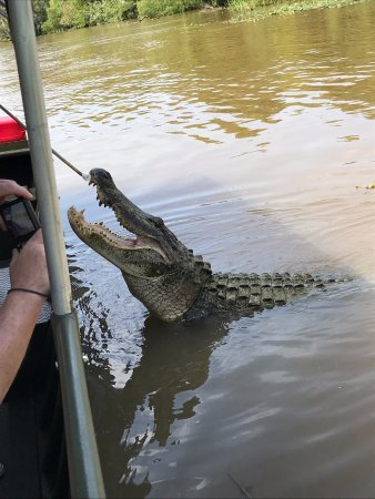 Pearl River Eco Tours: Brutus the Alligator who came right to the boat