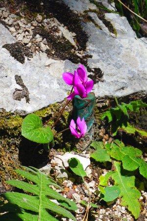 Ferlach, النمسا: Cyclamen sauvage
