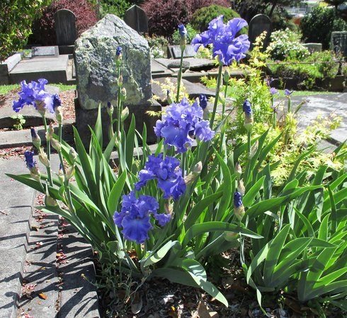 New Plymouth, New Zealand: Te Henui cemetery iris late October