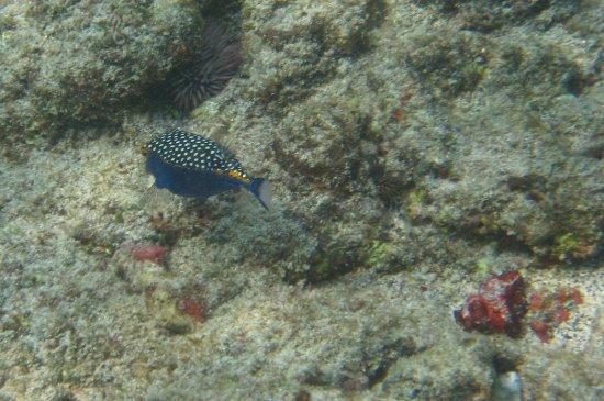 Keauhou, HI: Boxfish