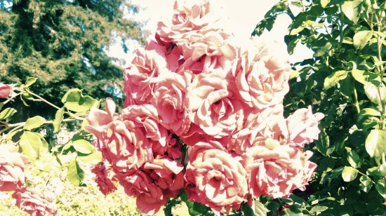 Roses In Garden: Picture Of Municipal Rose Garden, San Jose