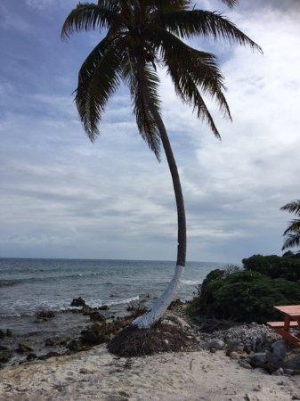 Belize Cayes, Μπελίζ: Wind blown palm!