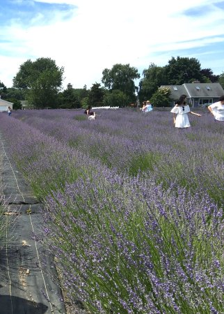 Lavender By The Bay: We were there at the July 4, Monday, Like the smell, like the purple. I had a good time staying