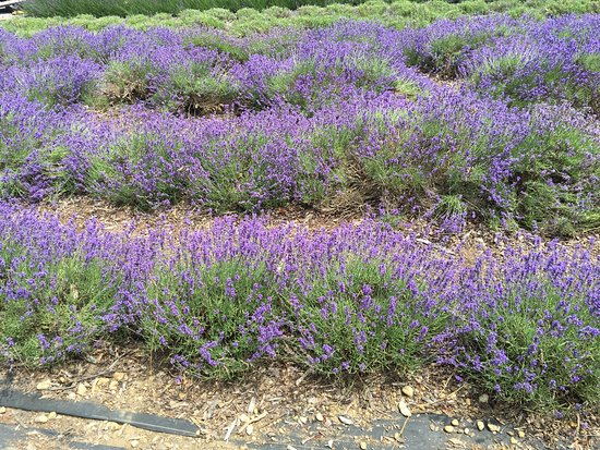 Lavender By The Bay: photo0.jpg