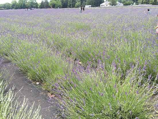 Lavender By The Bay: photo2.jpg
