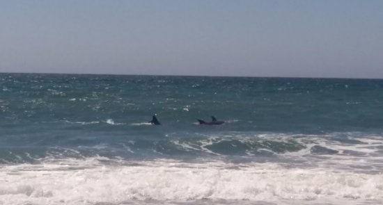 Moss Landing, Californien: Dolphins close to the shore