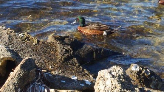 Riviera Caravan Park: A Duck