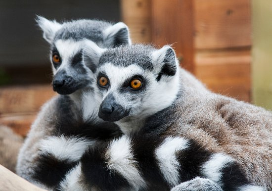 Tropical World: Two of our ring-tailed lemurs