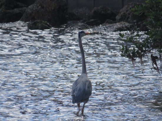 Quick Point Nature Reserve: Great blue heron