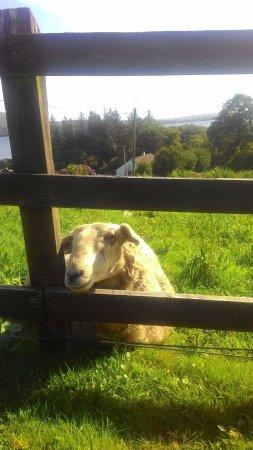 Nonaim Lodge Angling & Accommodation: Mouton au réveil