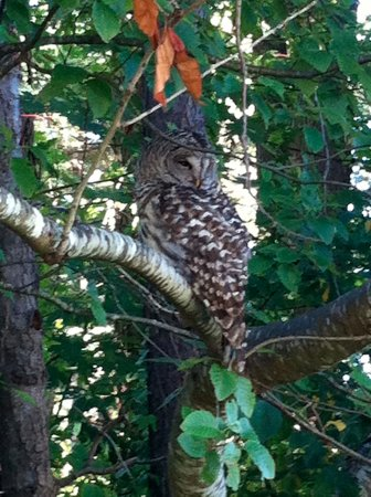 Esquimalt, Canada : barred owl at saxe point park