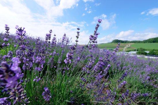 Kamifurano-cho, Япония: 咲いているラベンダーの状態はいいですが土が目立ちます。