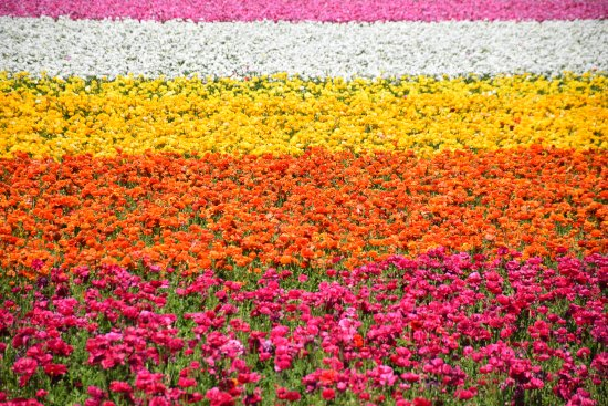 Carlsbad Flower Fields: The flower field