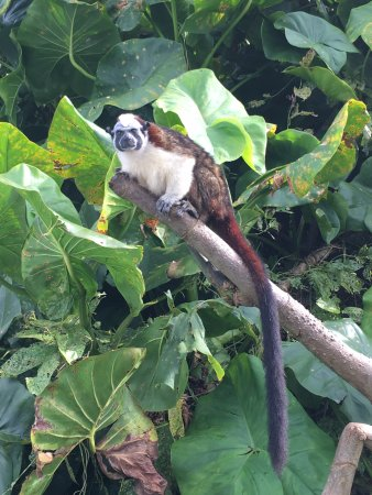 Xplora Panama Day Tours: Geoffroy Monkey