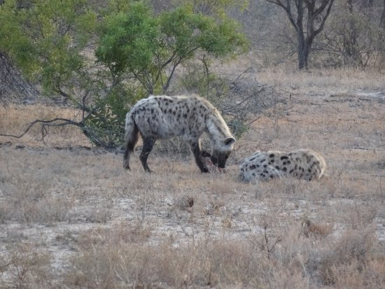 Kings Camp: One of the many Hyena we saw in our trip