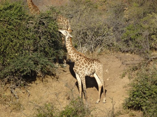 Kings Camp: We saw a lot of giraffe on our 2 day stay