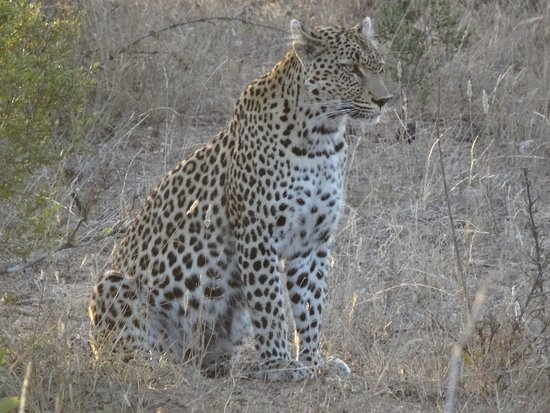Kings Camp: The best part of our trip were the great leopard sightings