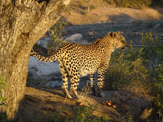 Kings Camp: This leopard was right across the creek from our room