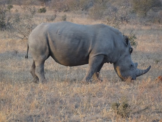 Kings Camp: We had great sightings of rhinos