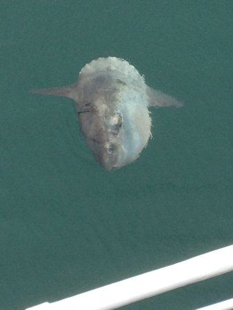 Padstow, UK: Ocean Sunfish basking, taken from the deck of Jubilee Queen