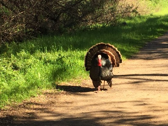 Los Altos Hills, CA: Mr. Turkey was strutting his stuff!