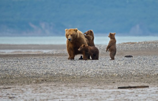 Sea Hawk Air: A sow and her three cubs on the roam at Hallo Bay.