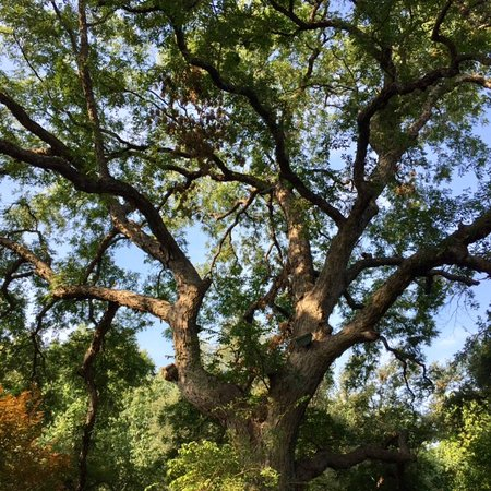 Fort Worth Botanic Garden : Huge, old, stately trees throughout the gardens.