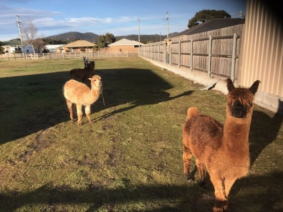 Kellraine Beach Cottages: The friendly Alpacas