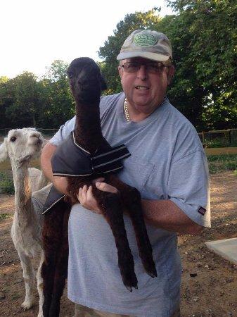 Birchington, UK: A new born baby boy Alpaca (Cria) July 2017