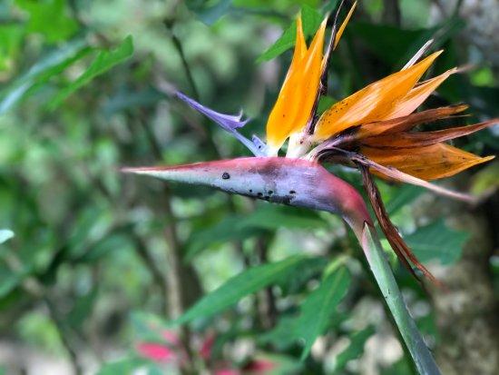 Bird Of Paradise Foto Van Robinson Falls Tanah Rata Tripadvisor