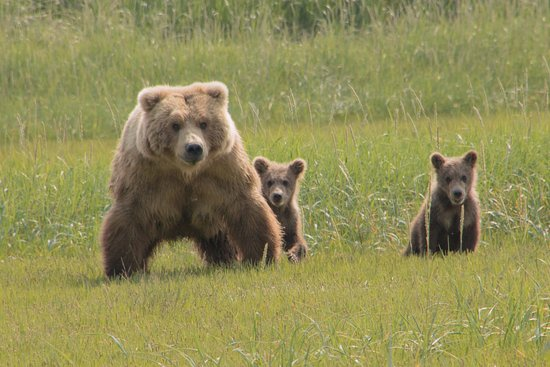 Sea Hawk Air: Mom and two first year cubs