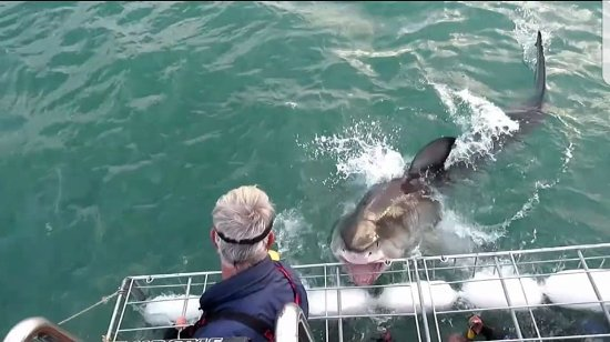 Great White Shark Tours: exciting!