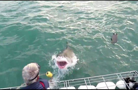 Great White Shark Tours: Awesome!