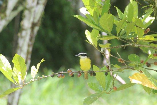 Punta Gorda, Belice: A Greater Kiskadee perched in coffee tree