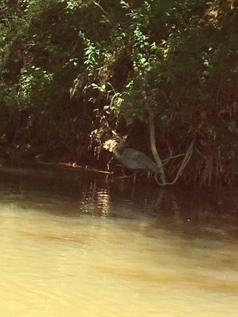 Dahlonega, Τζόρτζια: Small blue heron (maybe)?