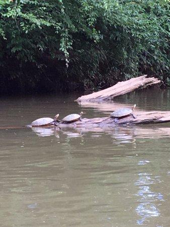 Dahlonega, Джорджия: Turtles!