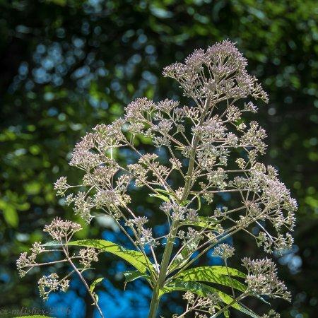 Cashiers, Caroline du Nord : flowers