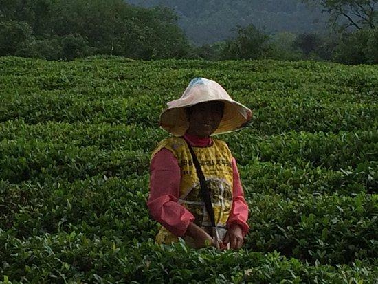 Wendy Wei Tours: Tea leaf picker.