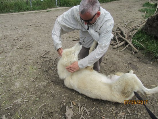 Orono, Canada: Does that looked stressed out, part 1.  Me having a romp with one of the Arctic wolves.