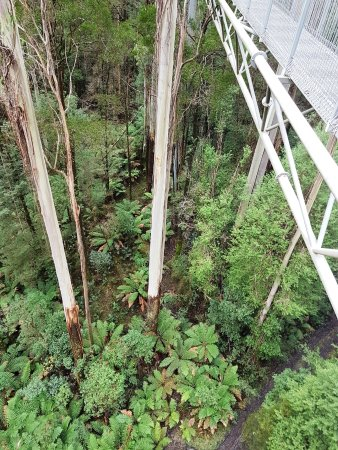 Otway Fly Treetop Adventures: Looking down gives an idea of the height of the trees
