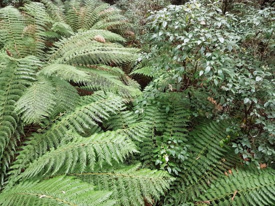 Otway Fly Treetop Adventures: Man Ferns are everywhere